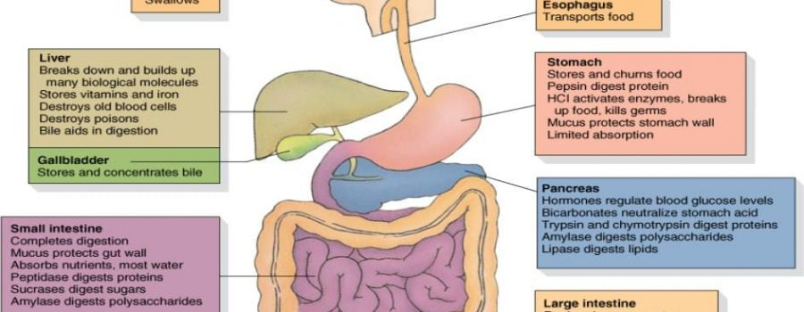 Stop Digestive Upset with Enzymedica Enzymes